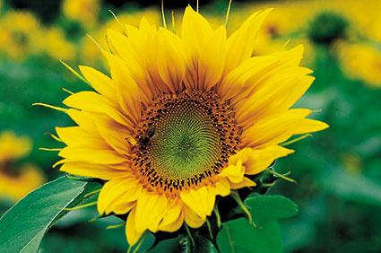 ACd1 «Sonnenblumen»