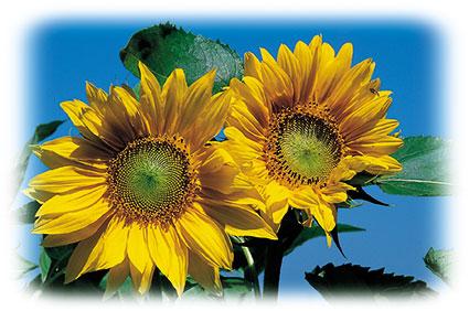 ACd10 «Sonnenblumen»