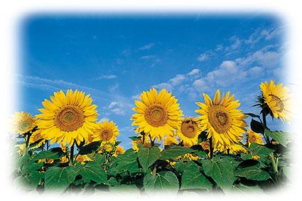 ACd11 «Sonnenblumen»