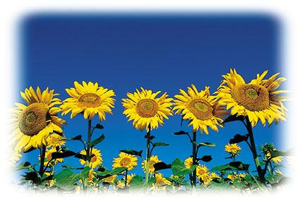ACd12 «Sonnenblumen»