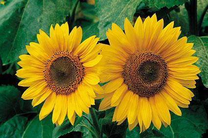 ACd2 «Sonnenblumen»