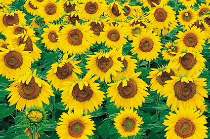ACd3 «Sonnenblumen»