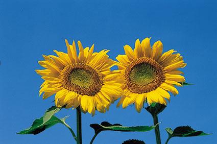 ACd4 «Sonnenblumen»