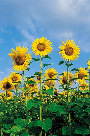 ACd5 «Sonnenblumen»