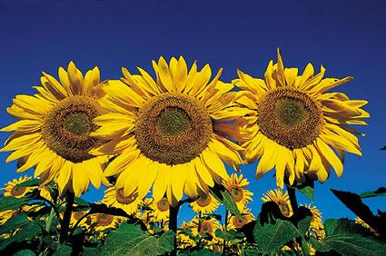 ACd6 «Sonnenblumen»