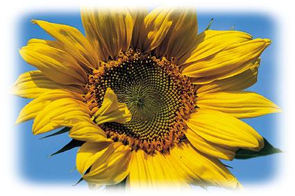 ACd7 «Sonnenblumen»