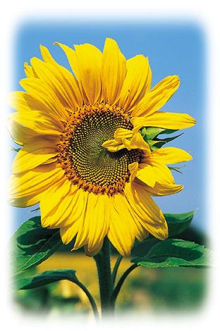 ACd8 «Sonnenblumen»