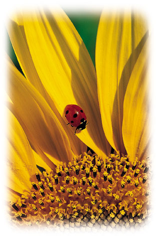 ACd9 «Sonnenblumen»