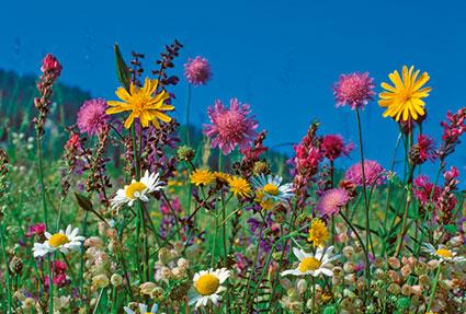 Rd 18 «Wiesenblumen»