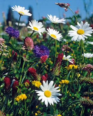 Rd 20 «Wiesenblumen»